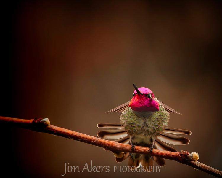 """""""My Twig, My Rules- Sepulvida Basin, Sherman Oaks, CA- Hummingbird"""
