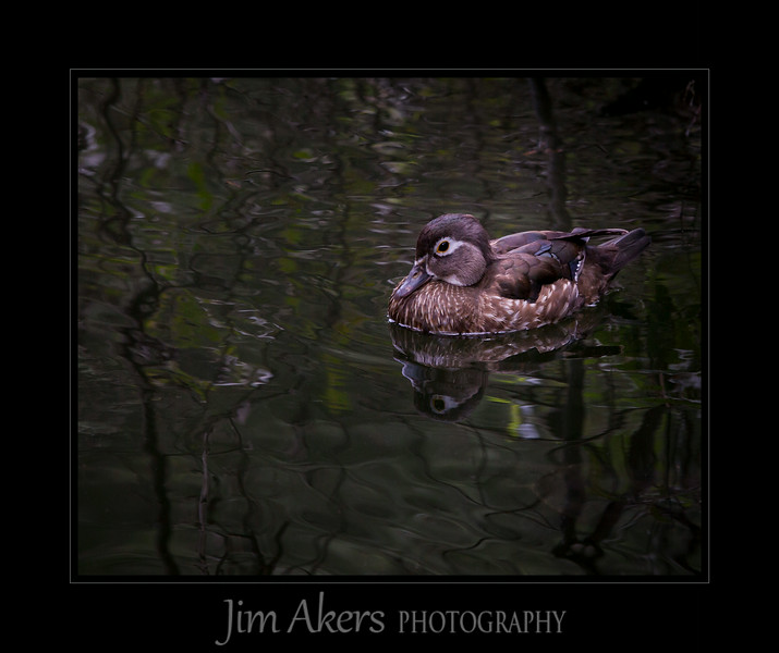 "This shot of a juvenile female Wood Duck was taken at Franklin Canyon Park in Beverly Hills.  It was early July, the pond is pretty much quite except for school kids cruising by with Wildlife Management personnel to give talks concerning the flora and fauna.<br /> <br /> I really liked the lines and reflection in the water.  It was very calm and this ""woody"" seemed content with its surroundings."