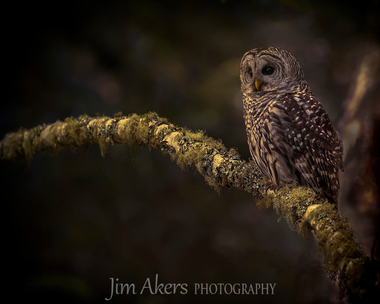 """""""Cozy Perch"""" just took Best of Class in a recent Professional Photographer of Los Angeles competion.  This Barred Owl (stix varia) was photographed at Muir National Park."""