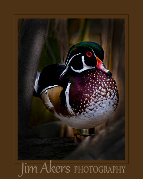 """Sunrise Treasure"" recently received an 82 in local competition.  This wood duck was nestled in the reeds just watching the day start. It was early morning.  The only distractors were morning walkers with their dogs.  Otherwise it was a pleasant outing. Quack Quack!"