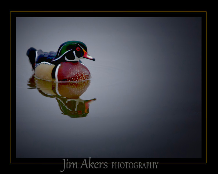 Wood Duck- one of my favorite birds to photograph.