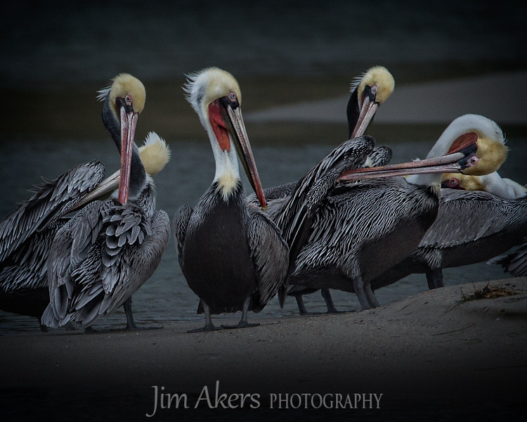 """A Never Ending Job"" for these pelicans.  Oil displacement helps keep the birds buoyant and acts as a water repellant. Malibu Lagoon, Malibu California was the location. This was one of those shots when one has not found anything of interest to shoot. Your just about ready to pack it in and decide to stay a little longer to ""practice"".  Not too bad, tells the story, good lines, moderate impact. A 500mm lens was used on a tri-pod."