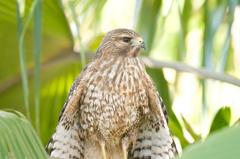 Juvenile Red-shouldered Hawk (elegans)