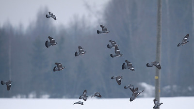 28.3.2010 Espoo, Finland  Mixed with Stock Doves.