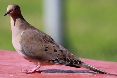 Käet ja Kyyhkyt (Cucoos, Pigeons and Doves)