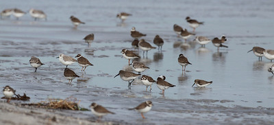 December 2009, Grandon Park, Miami, Florida, USA  With Semipalmated Plovers, Sanderlings and Dundlins.