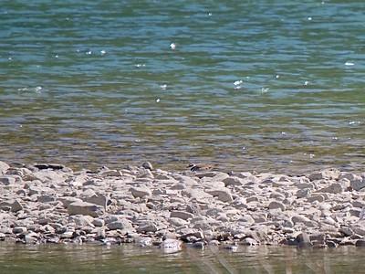 Kildeer, Duncan River, BC;