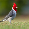 Red-crested Cardinal, introduced to Hawai'i from South America, now common in most places Kaua'i.  This one was photographed on a lawn at the Poipu Beach resort.