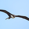 'Iwa or Great Frigatebird, photographed at the Kilauea Point National Wildlife Refuge on the north coast of Kaua'i