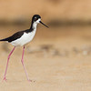 Ae'o or Hawaiian Stilt, a subspecies of the Black-necked Stilt found in North America. Photographed on the beach at MacArthur Park on the south coast of Kaua'i
