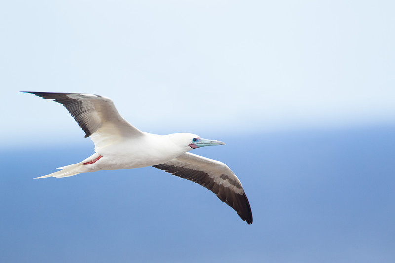 'A or Red-footed Booby, photographed at the Kilauea Point National Wildlife Refuge on the north coast of Kaua'i