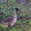 Nene or Hawaiian Goose, photographed at the Kawai'ele Bird Sanctuary (Sand Mines) on the south coast of Kaua'i