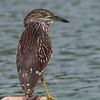 Black-crowned Night-Heron juvenile, photographed fishing the ponds at Kaua'i Lagoons resort on Kaua'i's east coast