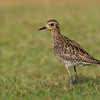 Kolea or Pacific Golden Plover, one of Hawai'i's most common migratory birds, photographed on the lawn of the Poipu Beach resort in southeast Kaua'i