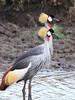 Crowned Crane Mara Park Kenya