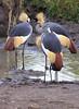 Kissy Kissy. Crowned Crane Mara Park Kenya