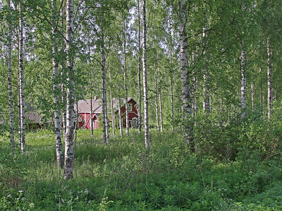 2.6.2013 Joutsa, Finland  Typical habitat This garden holds every year several Blyth's Reed Warblers