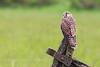 Kestrel - newly fledged juvenile