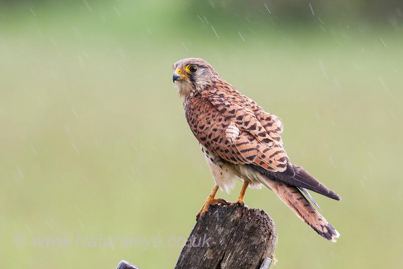 Kestrel - female in rain