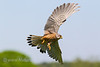 Kestrel - male