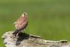 Kestrel - female