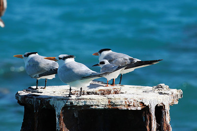 December 2009, Dry Tortugas National Park, Florida, USA  Among Royal Terns (Sterna maxima)