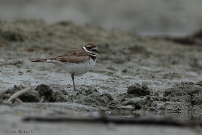202A0353_Killdeer