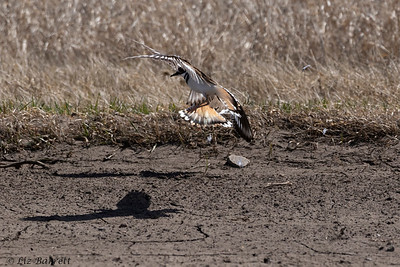 0U2A7636_Killdeer courting