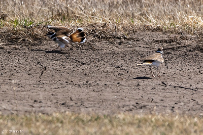 0U2A7645Killdeer Males fighting
