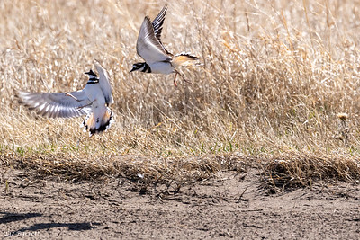 0U2A7635_Killdeer fight