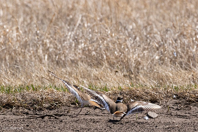 0U2A7637_Killdeer Fighting