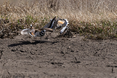 0U2A7666_Killdeer courting