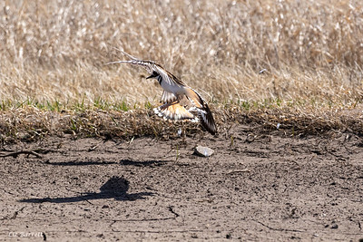 0U2A7636_Killdeer Fight