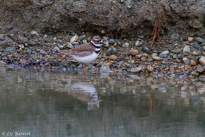 IMG_5998Killdeer