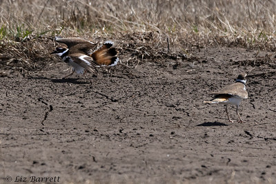 0U2A7645_Killdeer courting