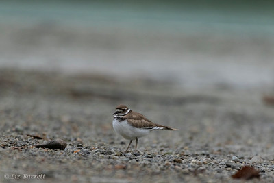 202A0315_Killdeer