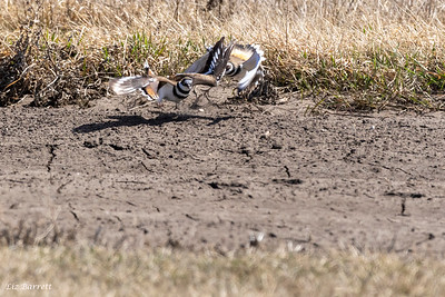0U2A7666_Killdeer Fighting