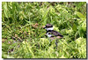 5-27-06 Killdeer Baby