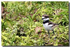 5-27-06 Killdeer Baby 2