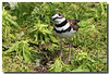 5-27-06 Killdeer 9