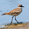"Killdeers : The Killdeer is the only North American plover with 2-neck-rings. Eats mostly insects. Killdeers display a predator-distracting ""broken-wing display,"" in which they appear to be injured and run along the ground dragging their wing, leading a potential predator away from the nest or chicks. It's calls are loud and insistent: see, deedeedee, kill-DEEAR, and a rolling chatter.   I recommend that you click on the slide show button at the top right side of this page to sit back and enjoy the fine art show. When the slide show begins, I suggest that you click on Hide Captions to view the images unencumbered by text. You can click on the 'Slow,' 'Medium,' or 'Fast' button for your speed preference.  At the conclusion of the slide show click on an image then click on 'show details' at the top of the page to open an option to comment on the image."