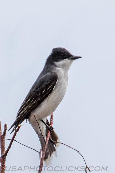 Eastern Kingbird (b2193)