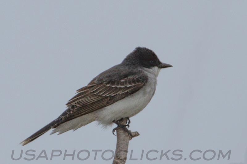 Eastern Kingbird (b1192)