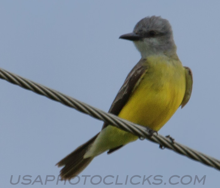 Western Kingbird (b1211)