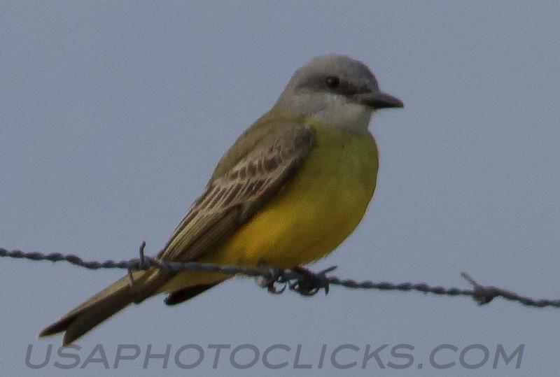 Tropical Kingbird (b1201)