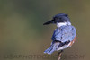 Belted Kingfisher (b1223)