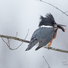 belted kingfisher: Megaceryle alcyon