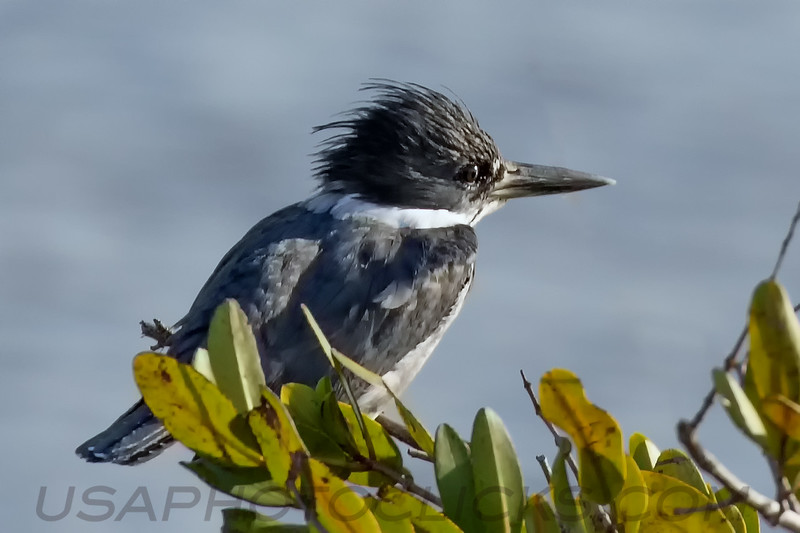 Belted Kingfisher (b1225)