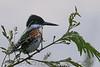 Little Green Kingfisher (b1233)