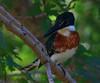 Little Green Kingfisher (b1231)